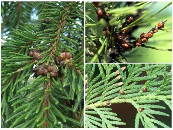 Основные болезни хвойных деревьев и их лечение