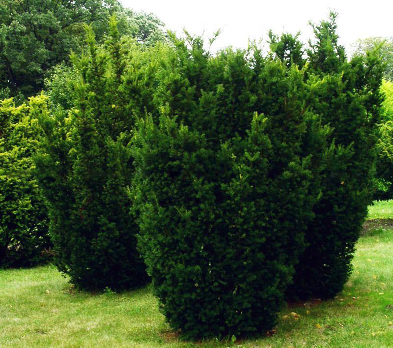 Фото тиса среднего Хикси, посадка и уход за растением