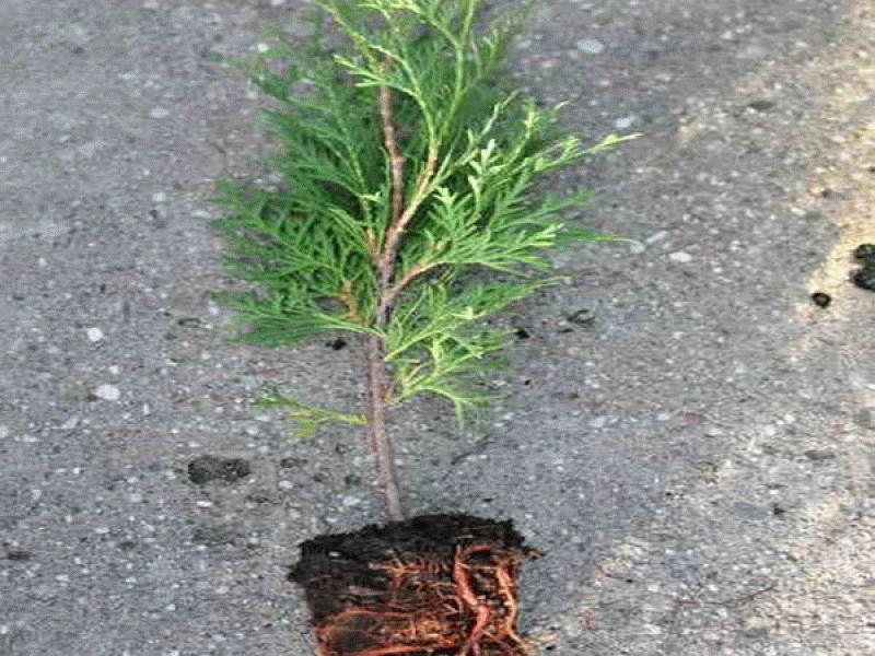 Посадка туи и уход за растением в открытом грунте