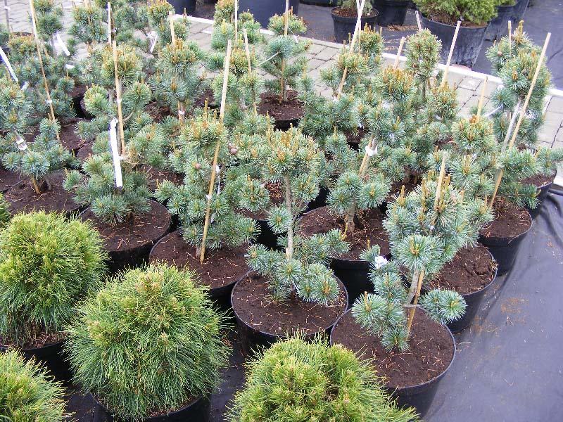 Как правильно сажать и ухаживать за сосной Негиши, фото растения
