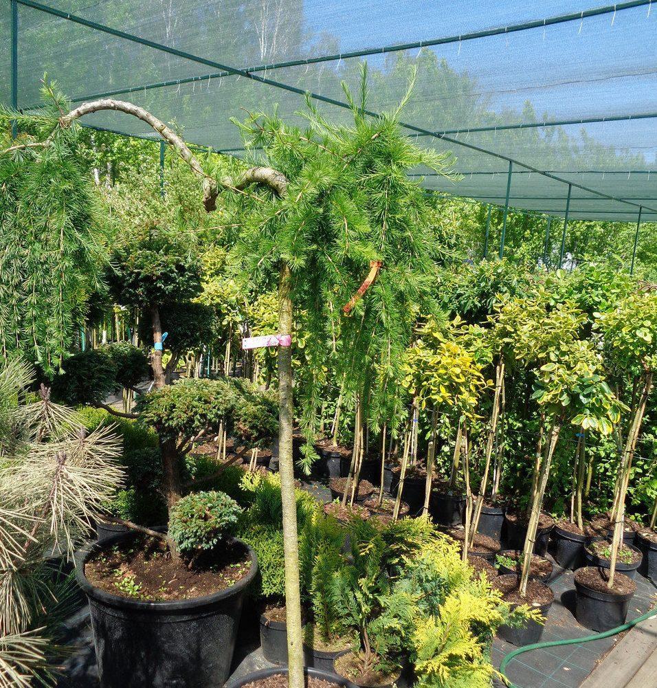 Варианты оформления лиственницы на штамбе в ландшафтном дизайне, посадка и уход за растением