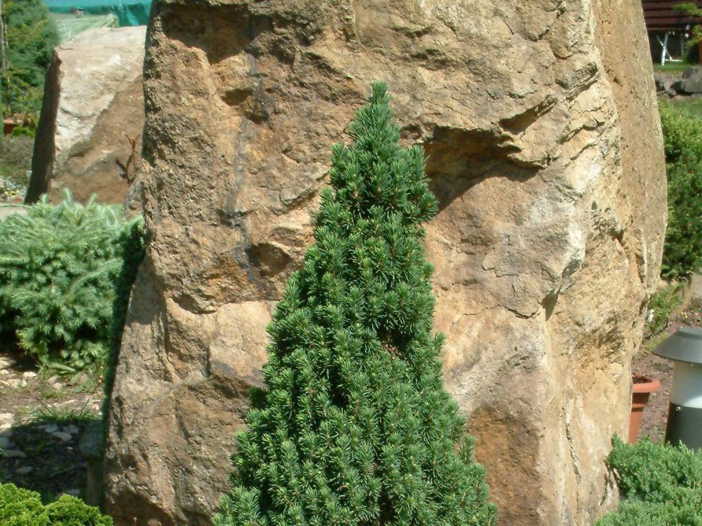Канадская карликовая ель коника — посадка, уход и фото