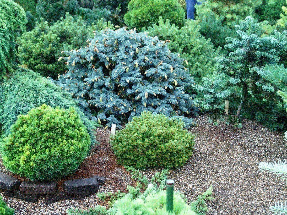 Хвойные растения для дачи — виды с названиями и фото