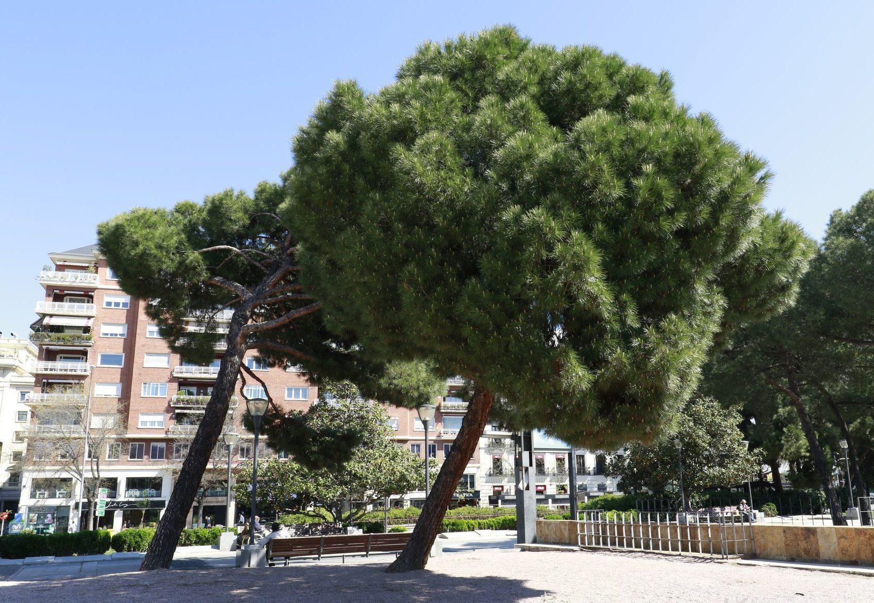 Фото итальянской сосны, выращивание из семян и уход за растением