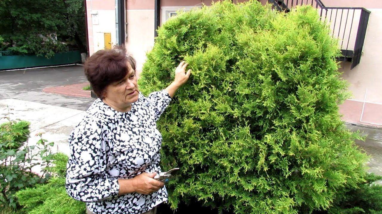 Обрезка хвойников осенью — как и когда обрезать хвойные растения