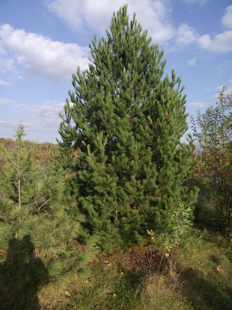 Описание Румелийской сосны, фото и уход за растением
