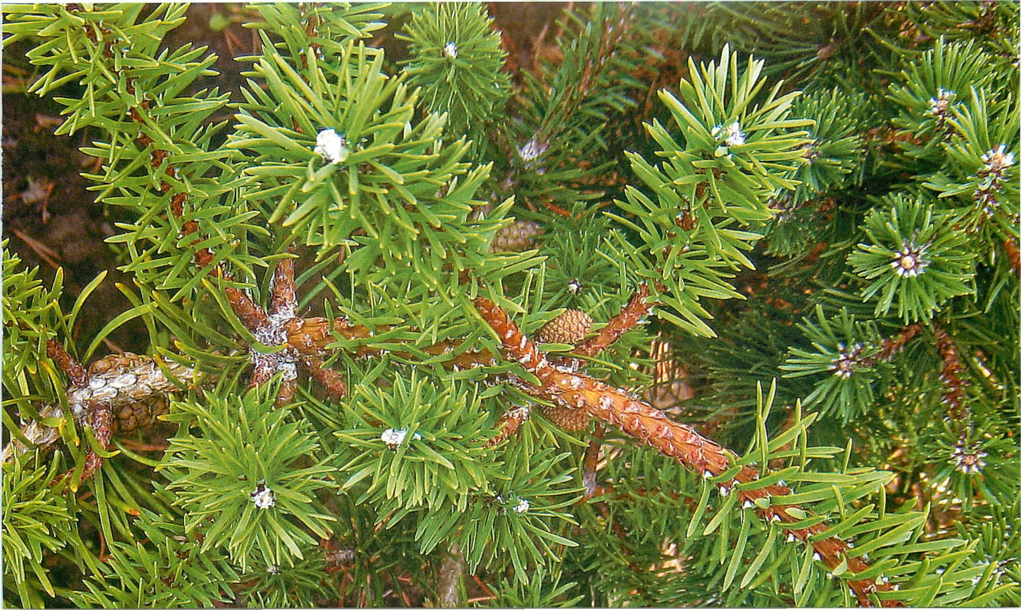 Описание и уход за сосной банкса, фото растения