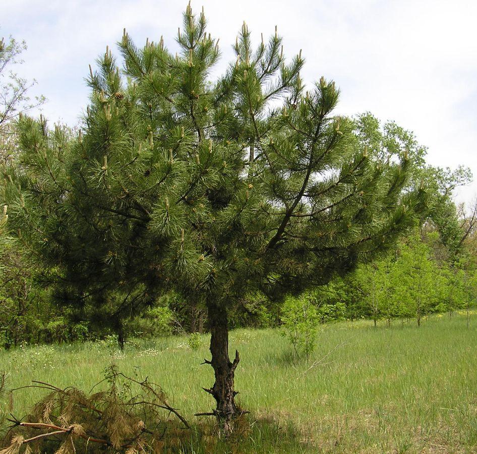 Уход и посадка Крымской сосны, фото растения