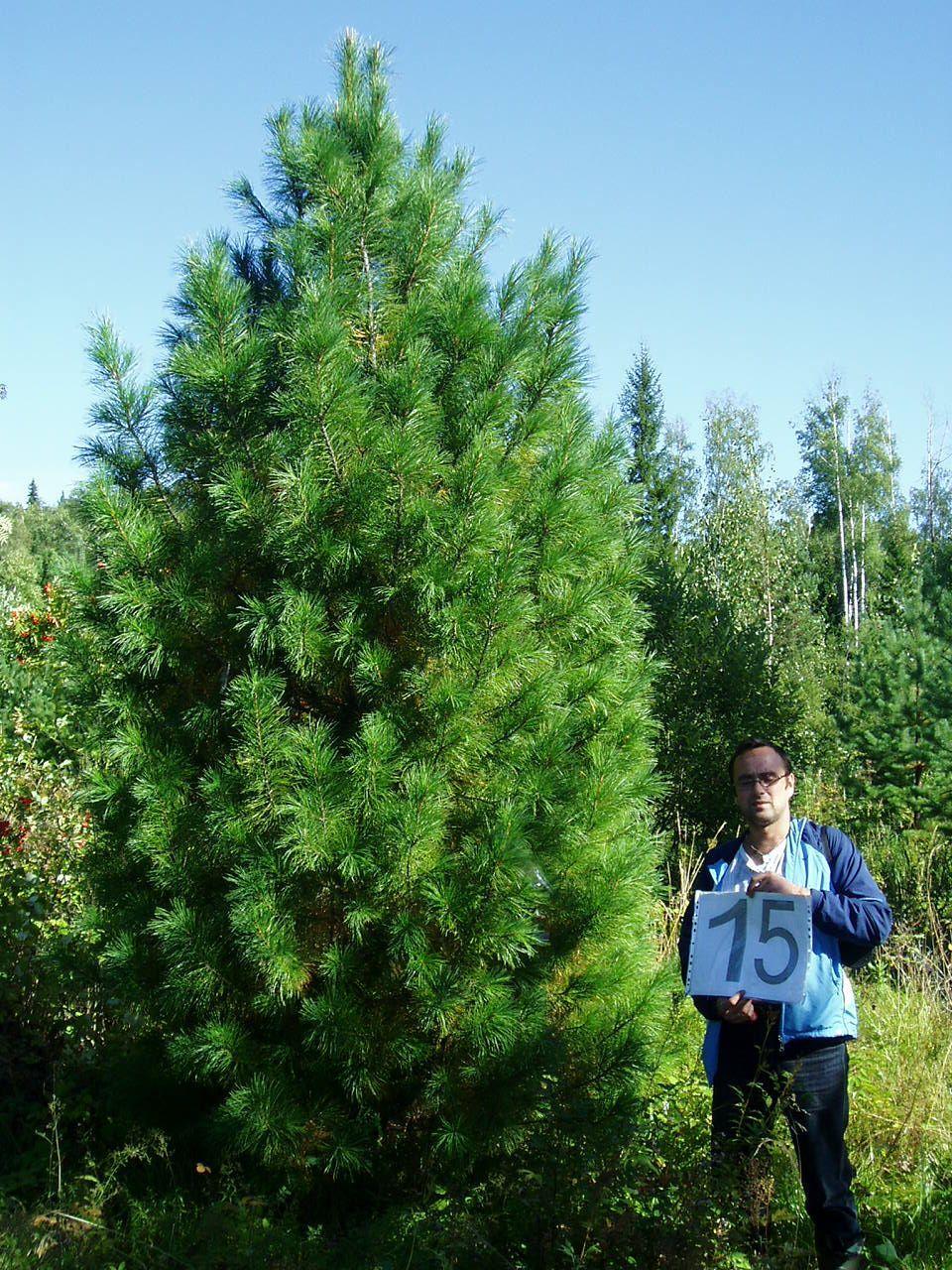Фото сибирской кедровой сосны, посадка и уход за растением