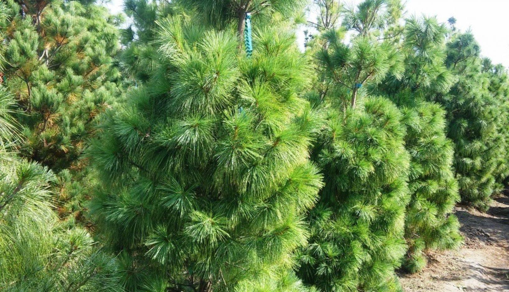 Фото сортов гималайской сосны, правила посадки и ухода за растением