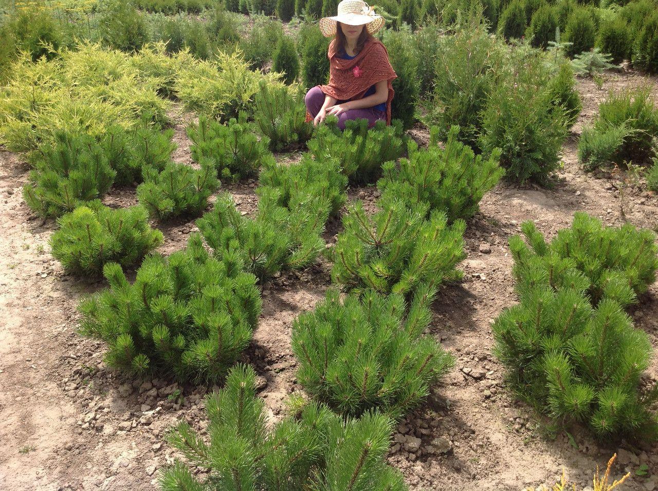 Популярные сорта горной сосны, особенности посадки и ухода за ними
