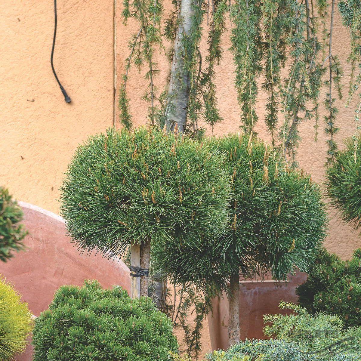 Описание горной сосны Варелла, посадка и уход за растением