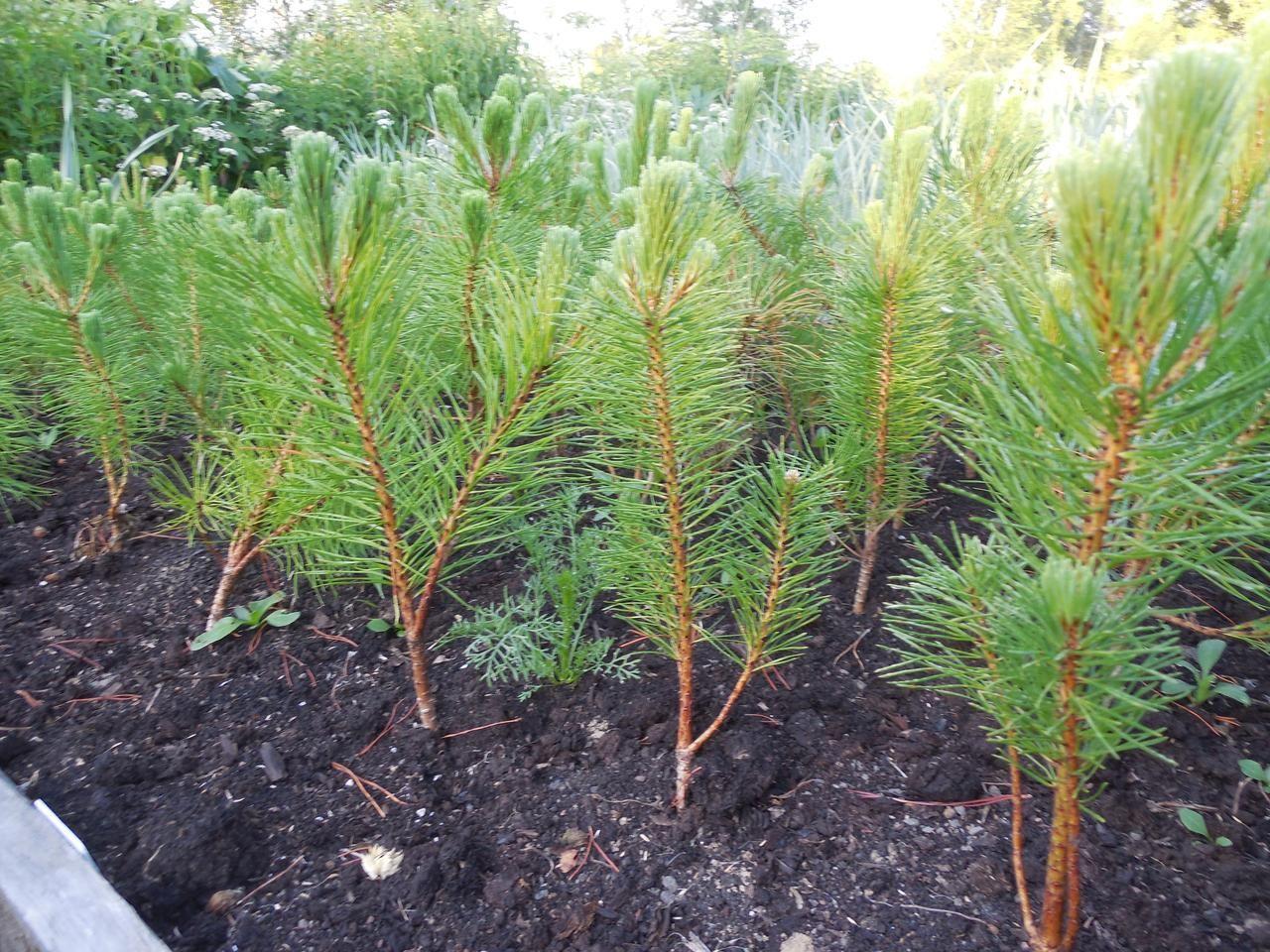 Характеристики горной сосны Мугус, посадка и уход за растением