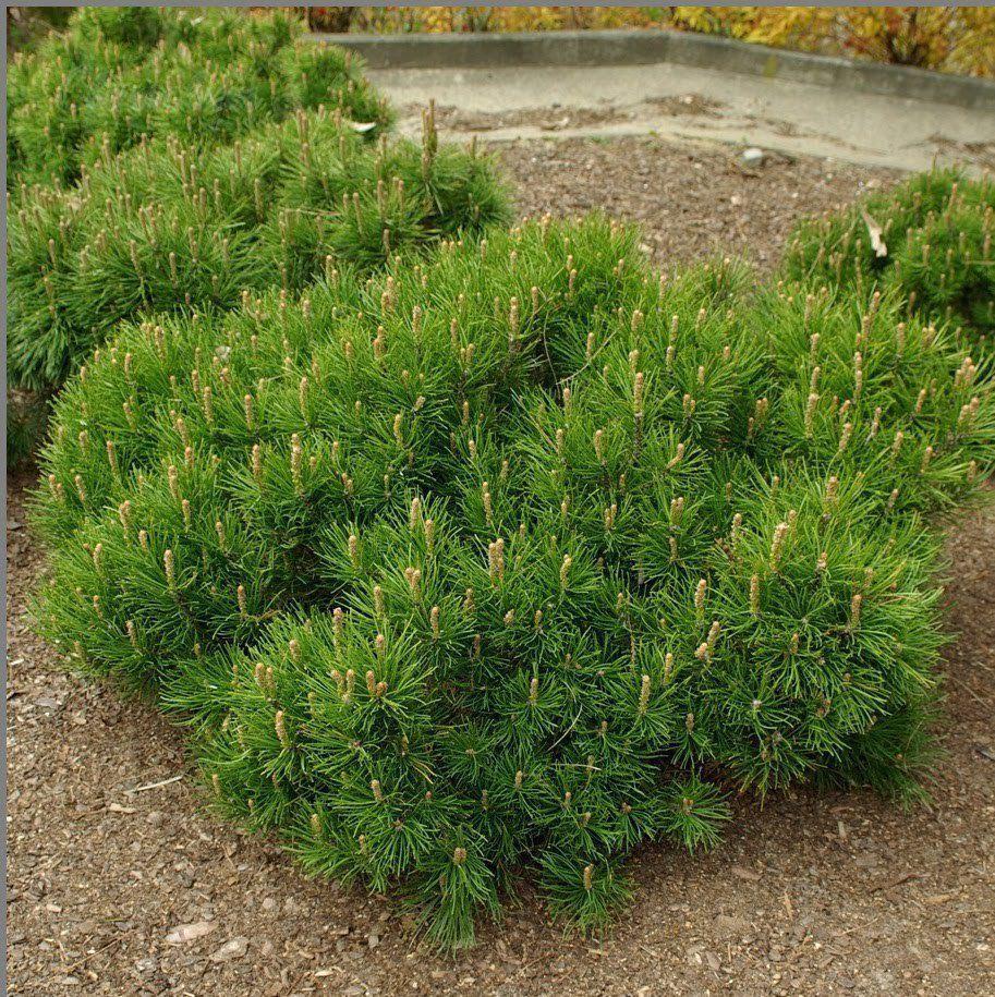 Особенности сорта горной сосны Винтер голд, посадка и уход за растением