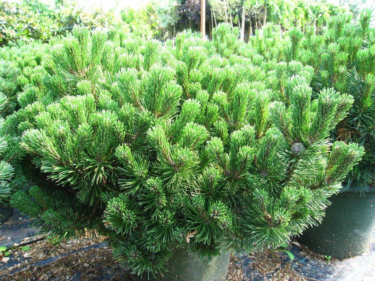 Популярные сорта карликовой сосны, особенности посадки и ухода за ними