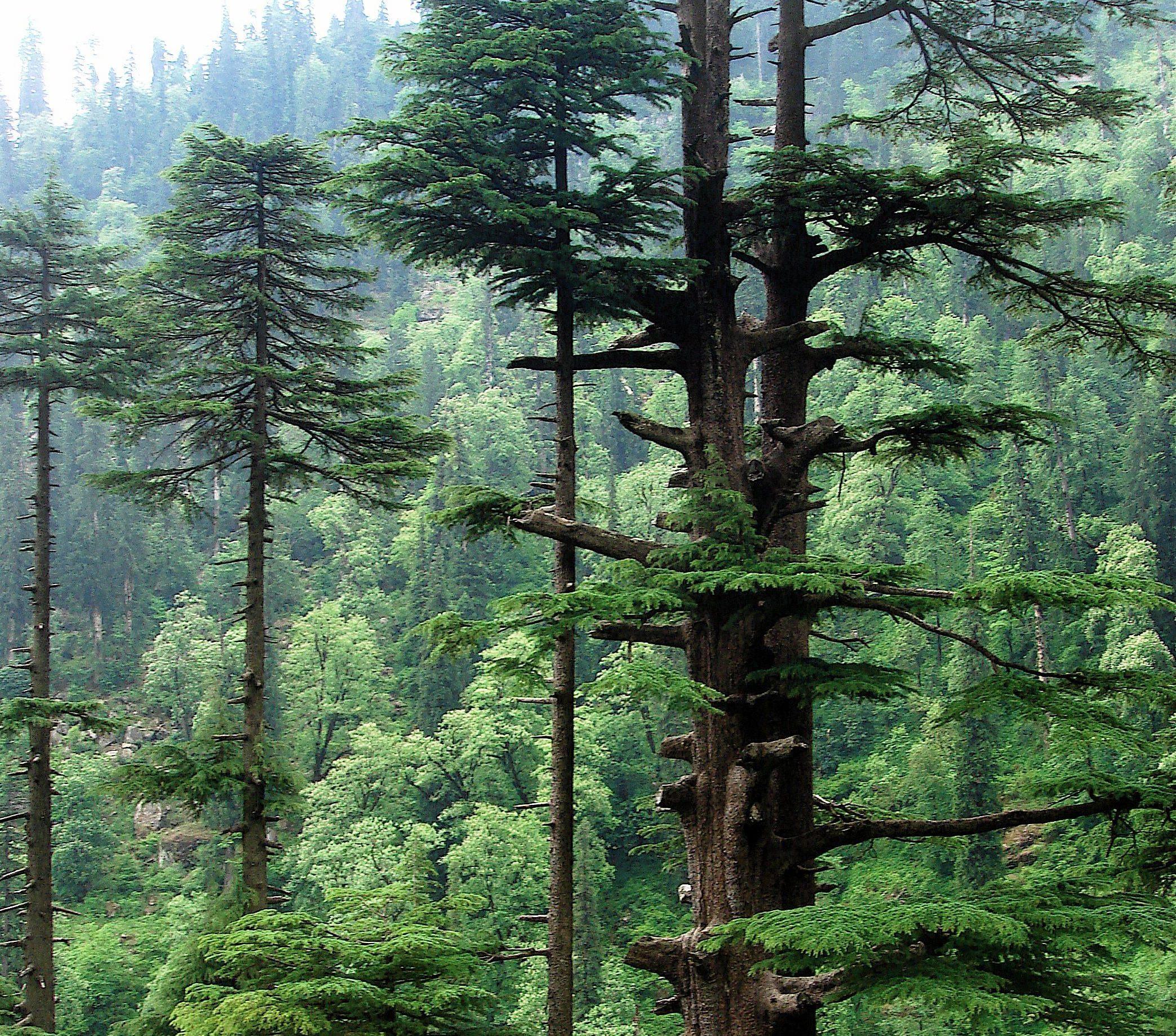 Гималайский и другие виды кедра их описание с фото