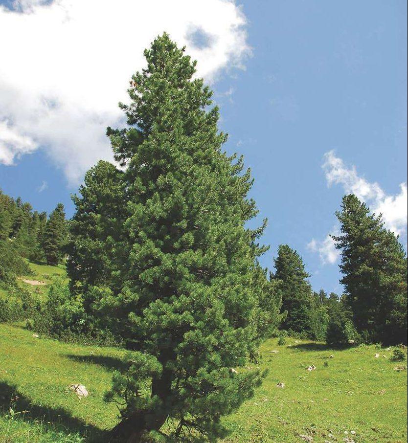Описание с фото кедровой сосны, посадка и уход за растением