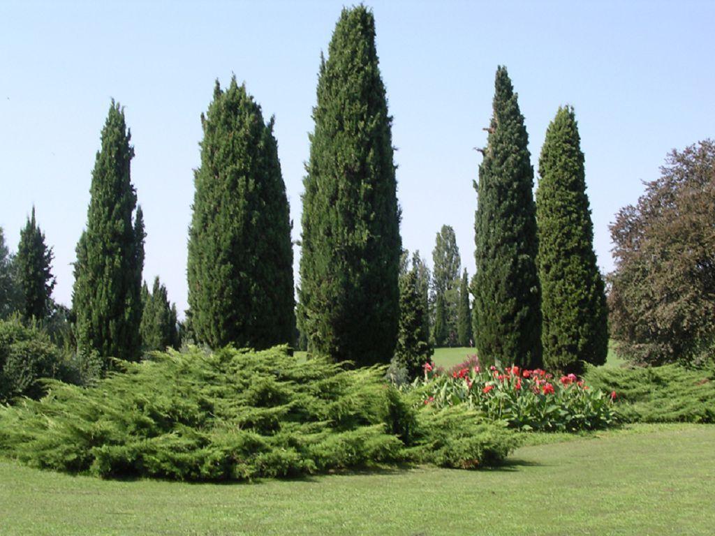Как выглядит кипарис — правила ухода выращивания и размножения растения