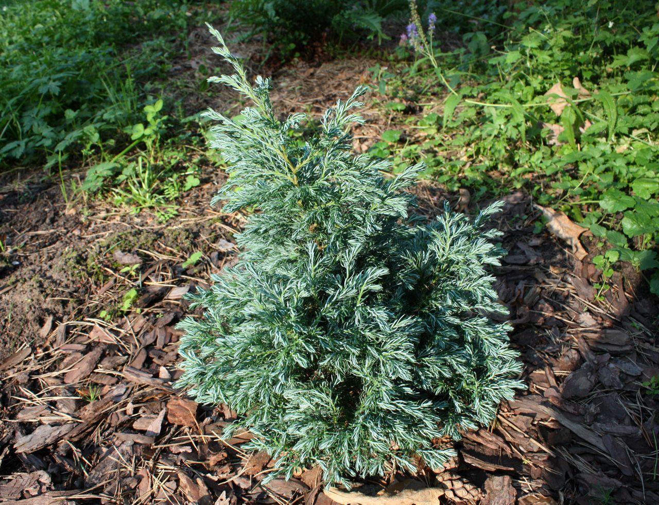 Сорта и виды кипарисовика горохоплодного с описанием и фото