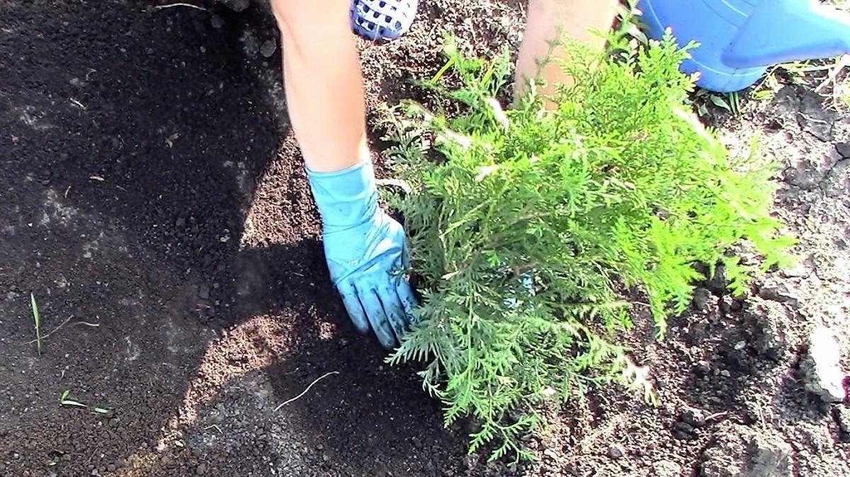 Пересадка туи осенью на новое место — как и когда лучше пересаживать растение?
