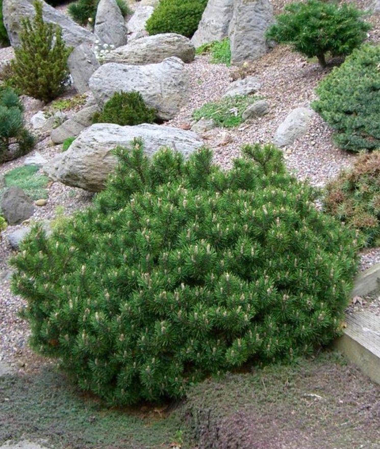 Описание сорта горной сосны Гном, посадка и уход за растением