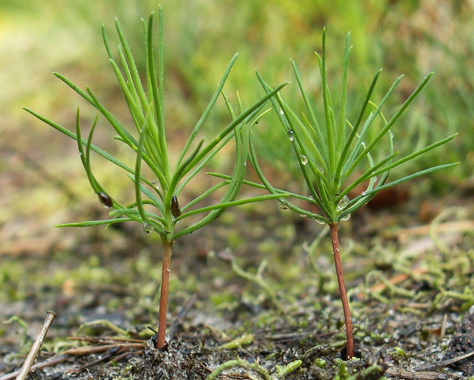 Посадка и пересадка сосны, особенности размножения растения