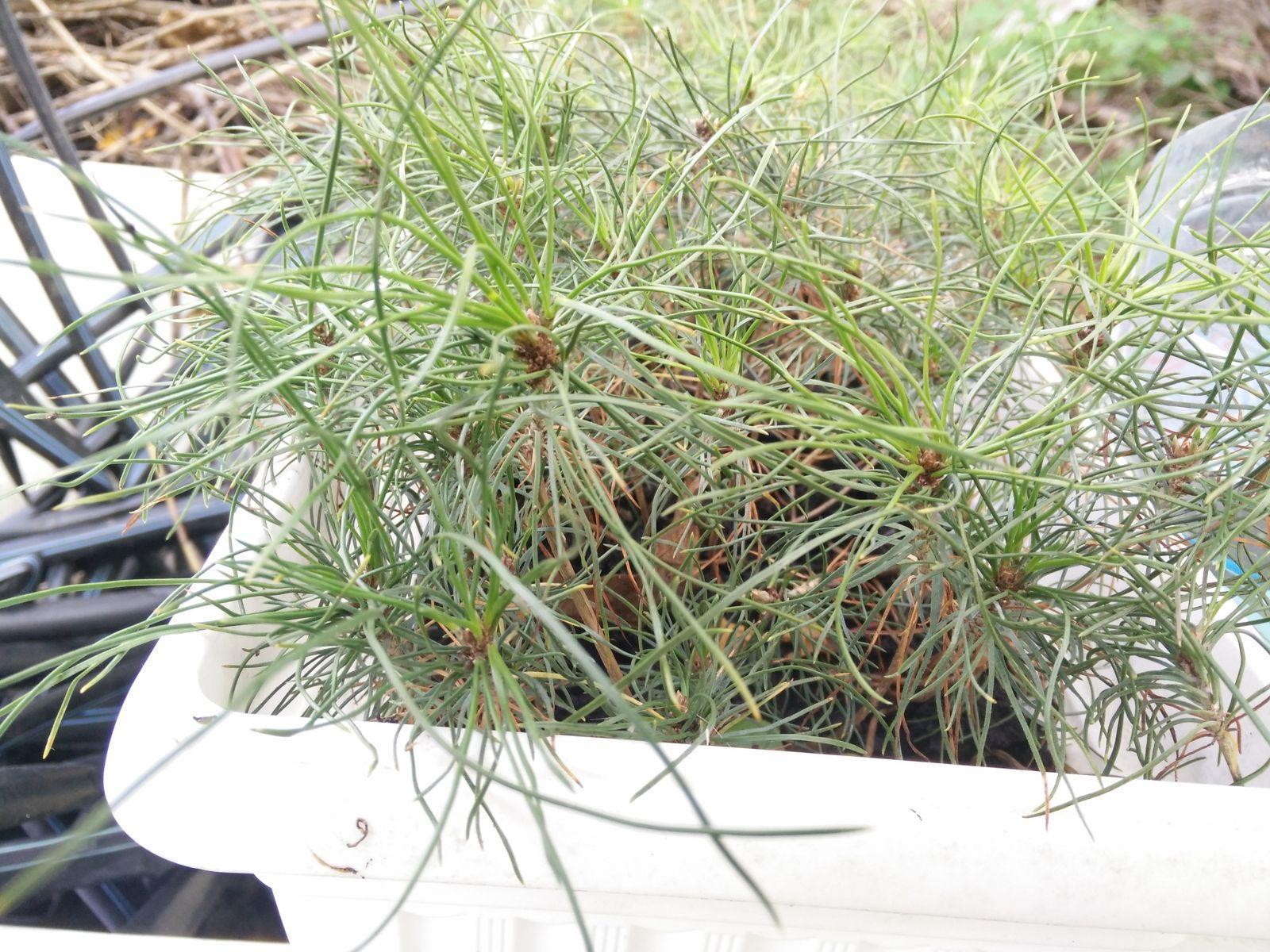 Посадка и уход за желтой сосной, фото растения