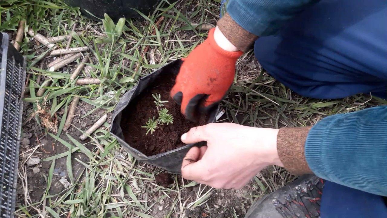 Уход и выращивание тиса, фото разных видов