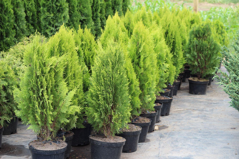 Какой грунт для хвойных растений самый подходящий?