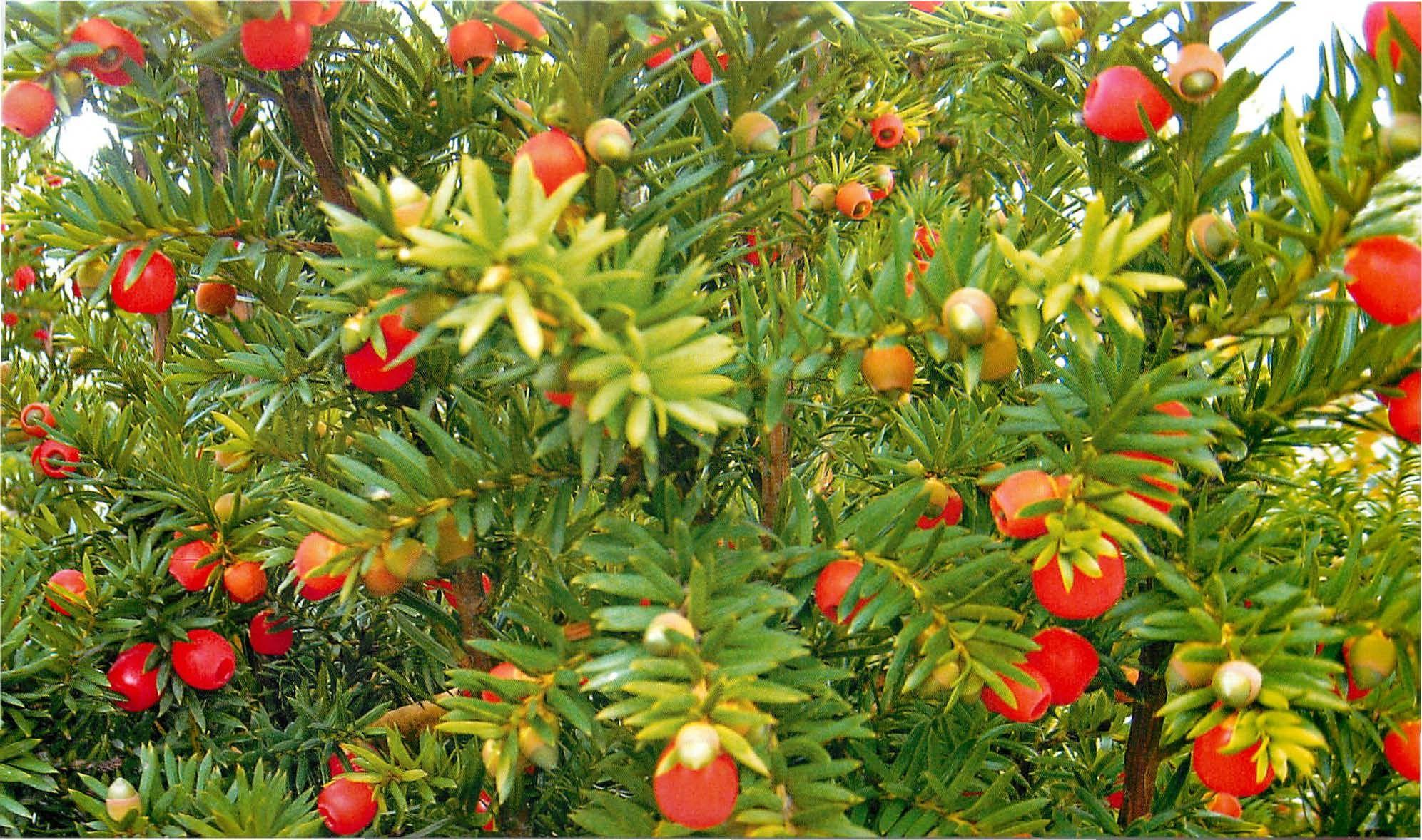 Уход и посадка тиса ягодного, размножение растения черенками