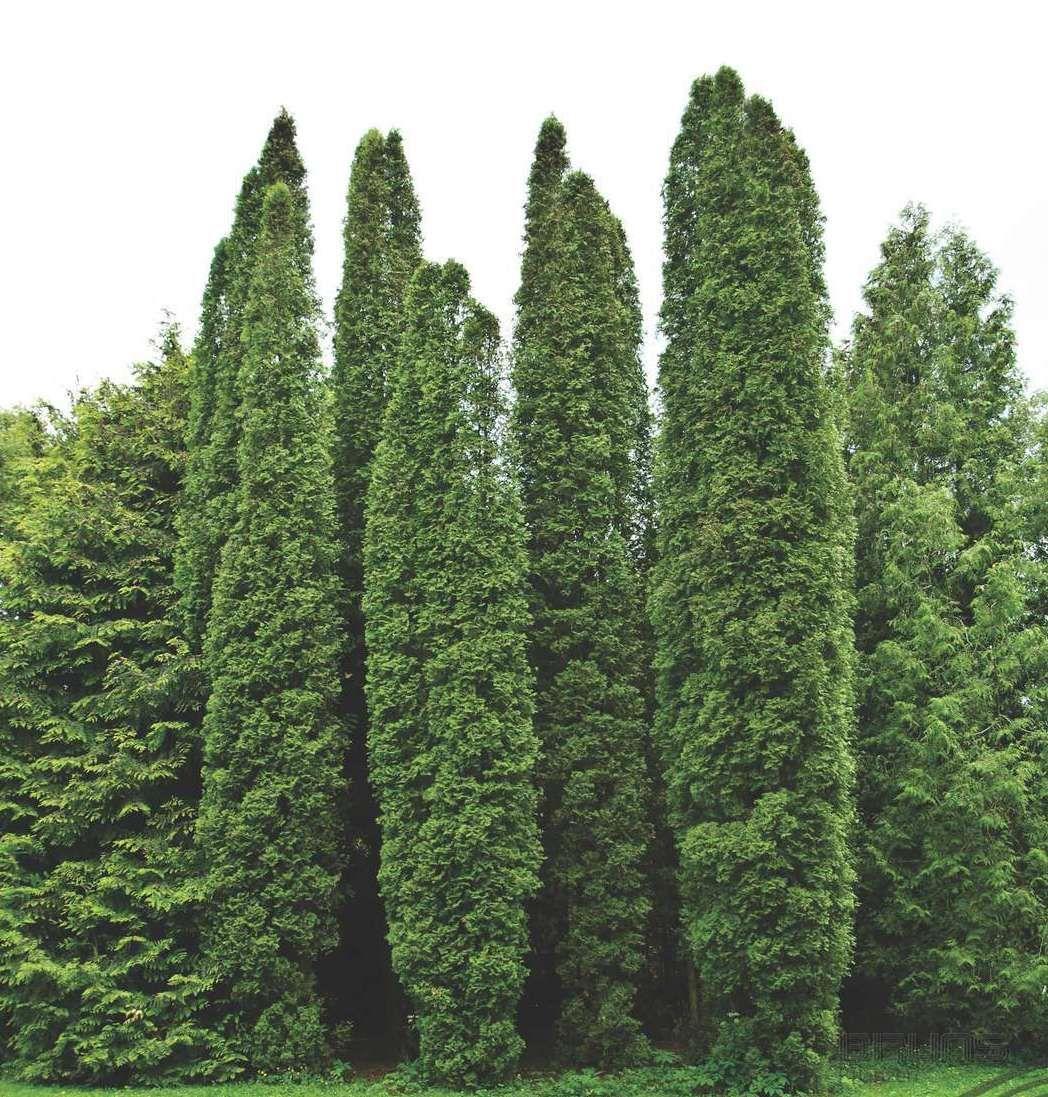 Самые быстрорастущие хвойные деревья для дачи с названиями и фото