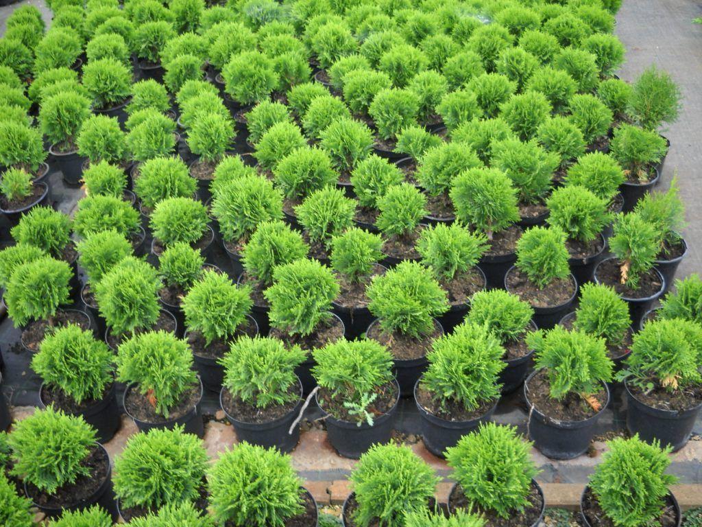 Подкормка туи — чем и как надо подкармливать растение осенью