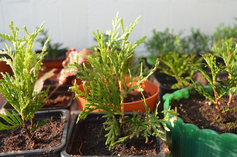 Как вырастить тую из семян в домашних условиях?