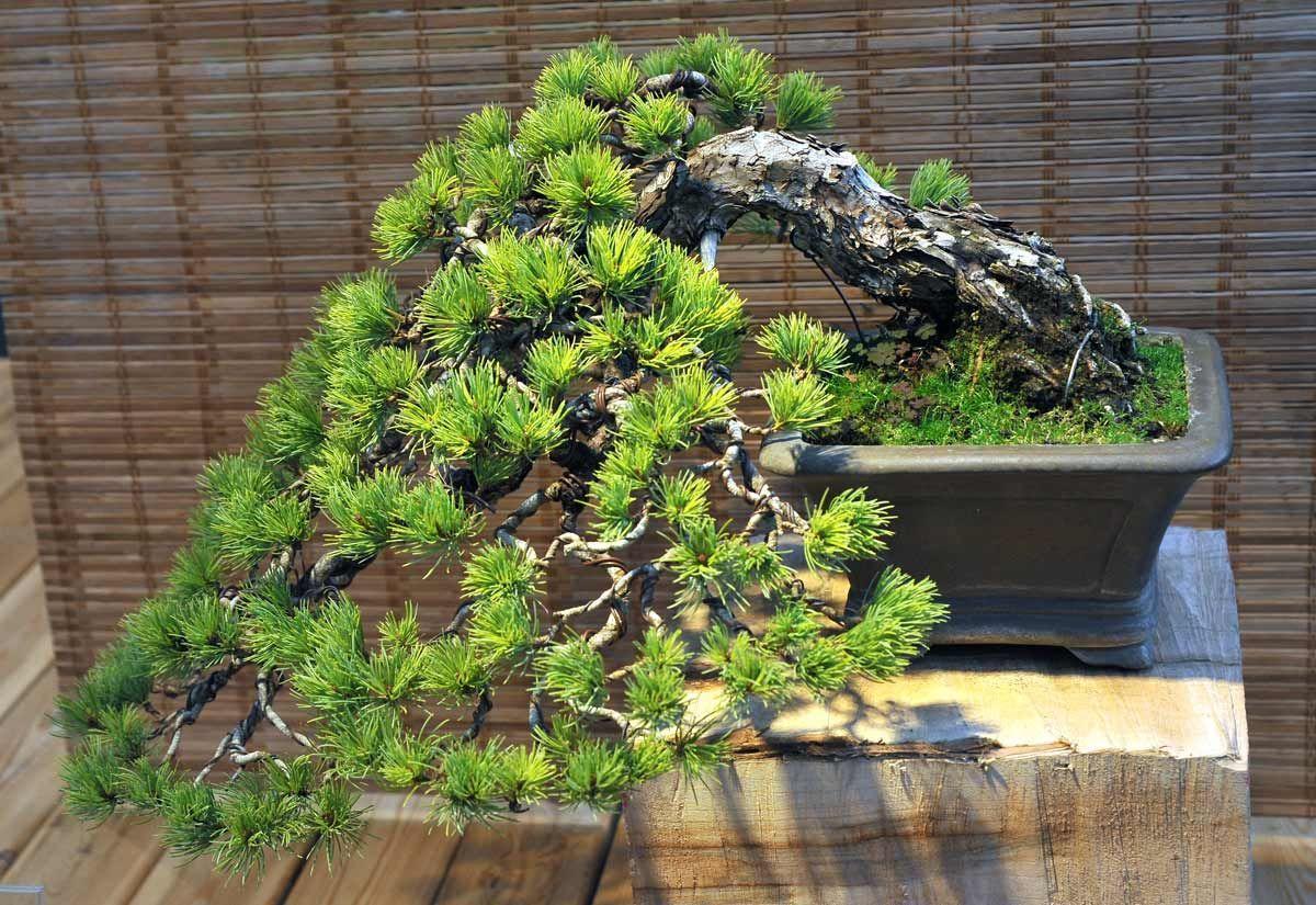 Правила посадки и выращивания японской сосны, фото растения