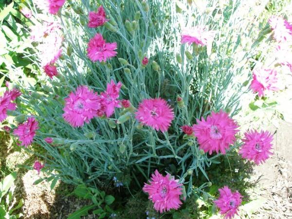 посадка гвоздики садовой семенами на рассаду