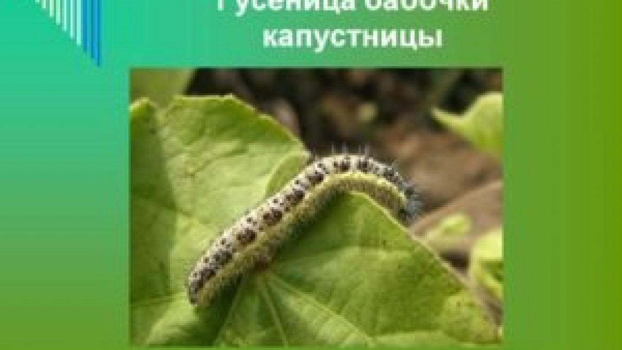 Бабочка Капустница или Белянка капустная. Large whiteCabbage ... | 720x1280