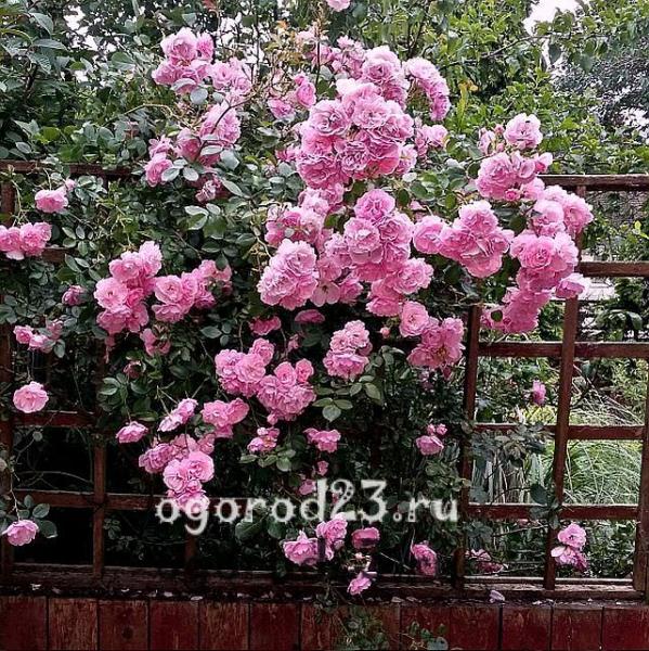 правила посадки роз в открытый грунт