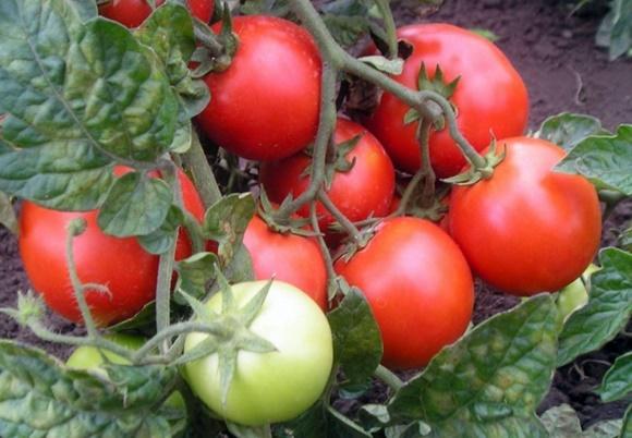 помидоры московские описание сорта