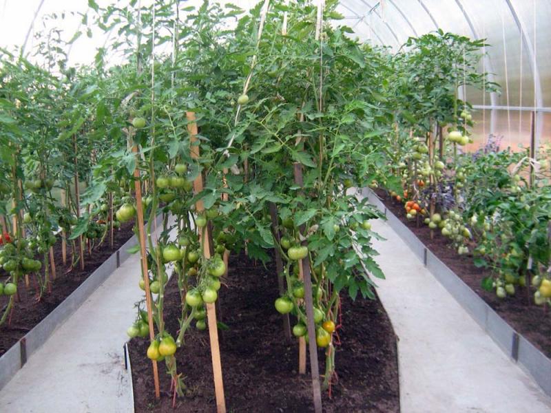 помидора в теплице подвязывать помидоры видео
