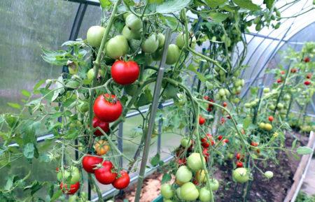 семена помидор для теплицы посадка