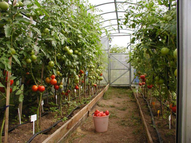 посадка помидор в теплице удобрения