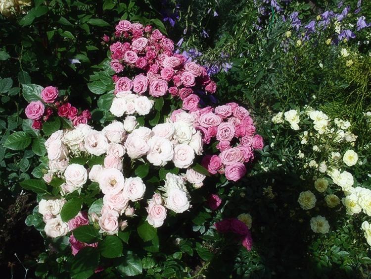 посадка роз в теплицах
