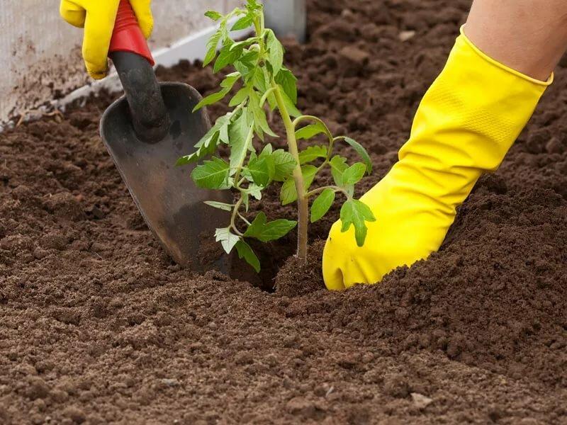 томаты в теплице подготовка почвы